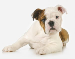 The Bulldog is a medium-sized breed of dog commonly referred to as the English Bulldog or British Bulldog. Other Bulldog breeds include the American Bulldog, Old English Bulldog, Leavitt Bulldog, Olde English Bulldogge, and the French Bulldog.