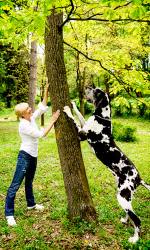Great Dane trying to climb up a tree in at the park